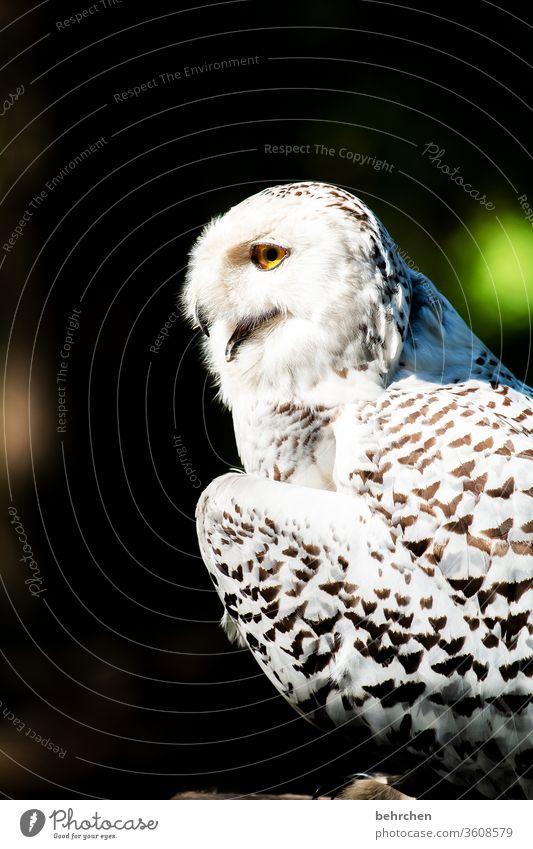 schneekönigin majestätisch Gefieder Sonnenlicht fantastisch Nahaufnahme Licht Außenaufnahme Farbfoto Tierliebe Vogel Flügel Tierschutz Tierporträt hübsch