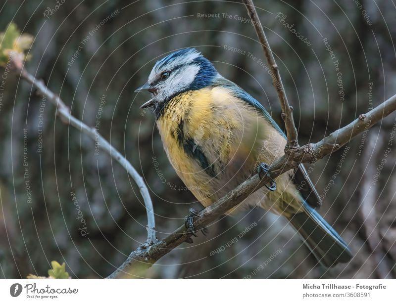 Singende Blaumeise Cyanistes caeruleus Vogel Meisen Kopf Tiergesicht Auge Schnabel Flügel Feder gefiedert Krallen Baum Wildtier Sonnenlicht Schönes Wetter Blick