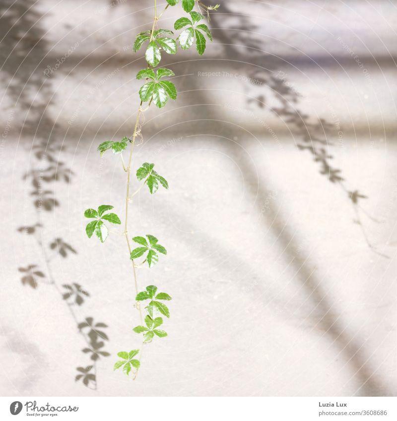 Wilder Wein, zart und grün mit anmutigem Schatten Pflanze Farbfoto Blatt Außenaufnahme Natur Sonnenschein Sonnenlicht Schattenspiel Ranke Jungfernrebe