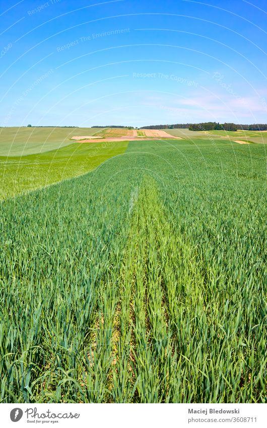 Grünes Erntefeld an einem sonnigen Tag. Feld grün Natur Wachstum Landwirtschaft ländlich Ackerbau Horizont Gras Himmel Ackerland kultiviert Hügel wolkenlos blau