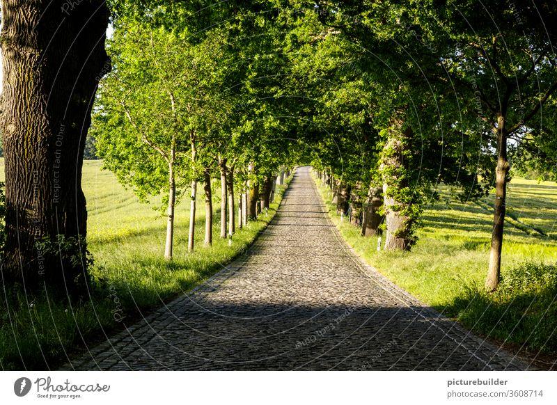 Allee Alleebäume Bäume Straße Kopfsteinpflaster Wege & Pfade Außenaufnahme Stein Menschenleer Verkehrswege Pflastersteine Farbfoto Straßenbelag