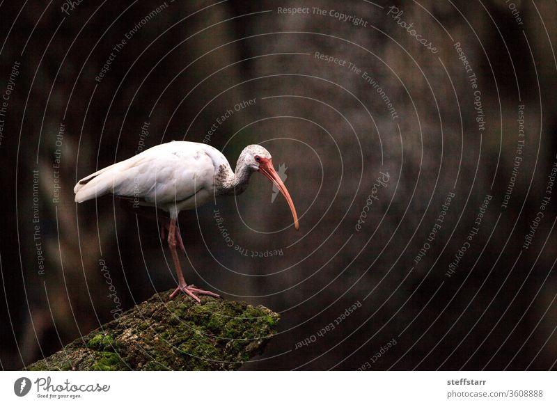 Amerikanischer weißer Ibis Eudocimus albus Vogel in einem Teich in einem Sumpf Waldrapp Weißer Ibis Watvogel Tier Barsch langer Schnabel weißer Vogel Florida