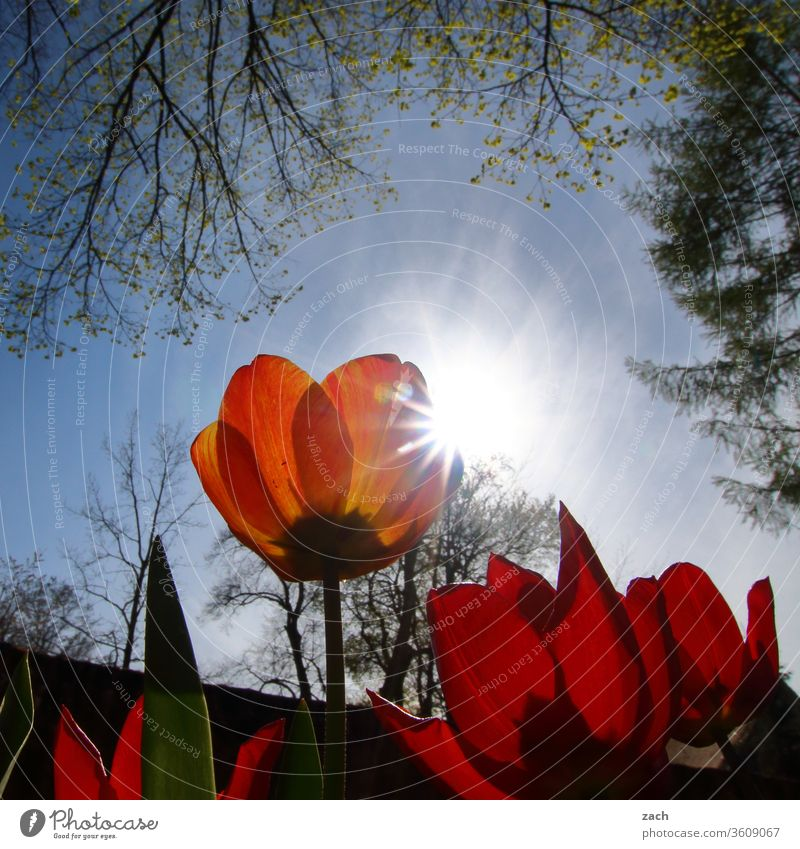 rote Tulpen im Gegenlicht Mohn Mohnblüte mohnblumen Blume Pflanze Blüte Sommer Natur Wiese Mohnfeld Klatschmohn Sonne Sonnenlicht Himmel blau Baum Ast