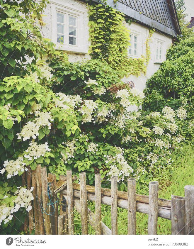 Immer an der Wand lang Haus Fassade Fenster Pflanze Zaun Hortensie Hortensienblüte Blätter Blüte blühend Frühling Schiefer dörflich Idylle Farbfoto Blume