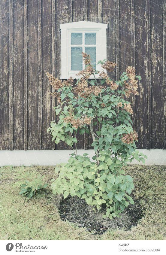 Verblüht Pflanze verblüht Strauch Flieder Frühling Blüten Blätter Haus Holz alt Fassade Fenster einfach Wiese Vergänglichkeit Vergangenheit Außenaufnahme