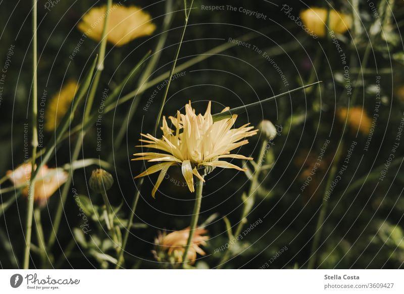 Gelbe Dahlien Blume Blumen Makro Nahaufnahme Pflanze detail detailaufnahme gelb natur sommer Natur Blüte Sommer Blütenblatt Makroaufnahme Frühling Garten