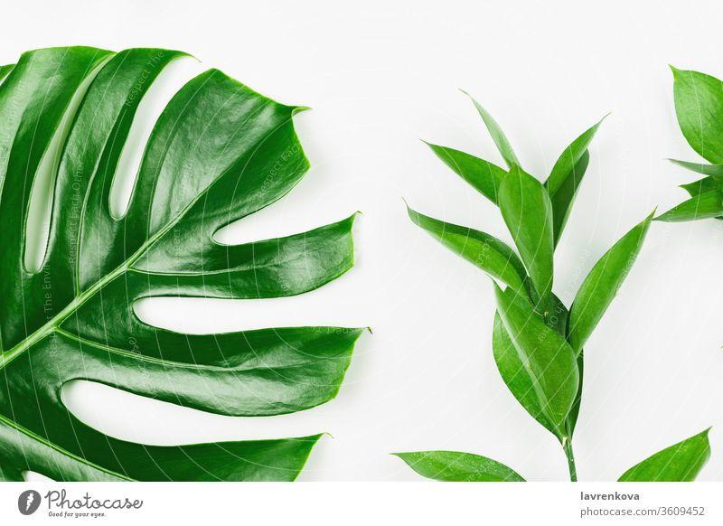 Flatlay mit Philodendron-Monsterblättern und grünen Zweigen, weißer Hintergrund, Frühlings- oder Sommerhintergrund frisch geblümt Flora Blüte oliv Bucht