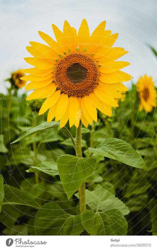 Hübsche gelbe Sonnenblumen Sommer Natur Blume Blüte geblümt Flora Feld grün Ackerbau schön Hintergrund Schönheit Pflanze Überstrahlung Nahaufnahme hell Pollen