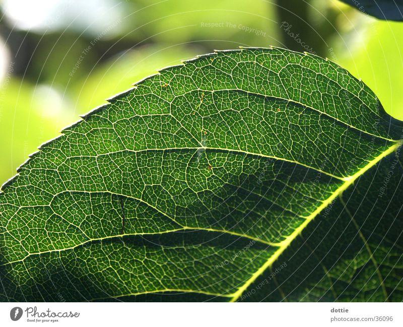 Rosenblatt grün Blatt Gefäße Zacken Rosenblätter