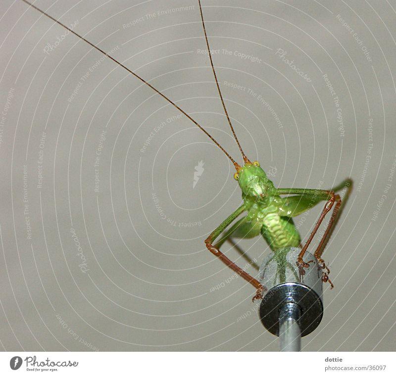 Flip, der Grashüpfer Heuschrecke Heimchen Insekt grün Makroaufnahme
