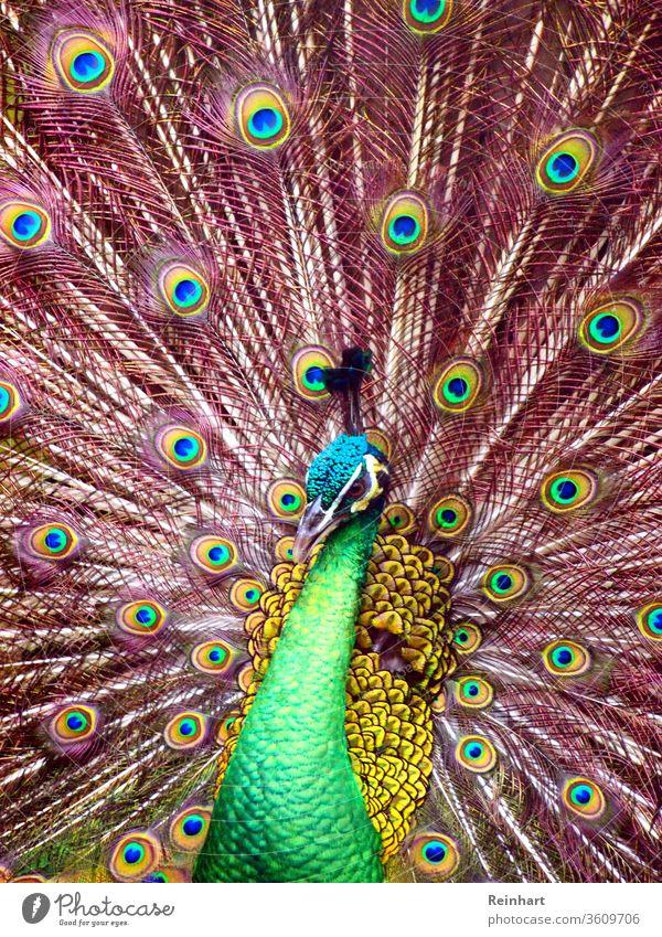 Tausend Augen des Pfaus viele Vogel schön Tier Feder Pfauenfeder Farbfoto grün Nahaufnahme blau Tierporträt Kopf mehrfarbig Tiergesicht Schnabel Krone im Freien