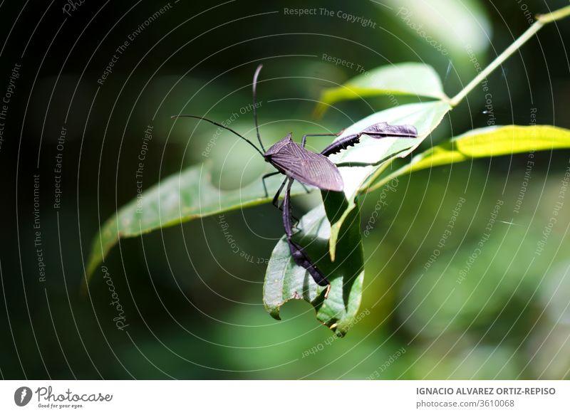 Wanze auf einem Blatt im Dschungel Tiere Insekten Fauna Natur Asien asiatisch Ein Tier tropisch Tierwelt Wildtier Zoo natürlich wild wildes Leben phasmatodea