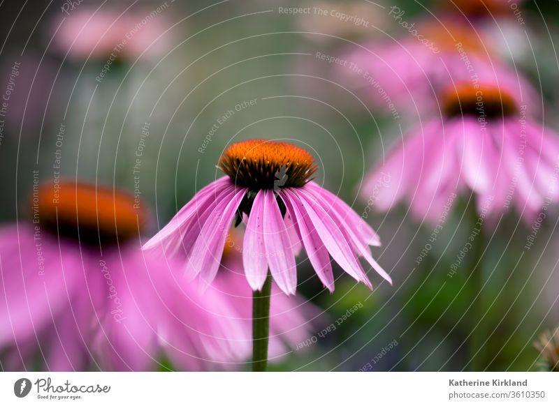 Eine rosa Echinacea-Blüte blüht auf einer Sommerwiese. Sonnenhut Zapfen purpurea grün natürlich Natur Wildblume Blume Garten Gartenarbeit mehrjährig Pflanze
