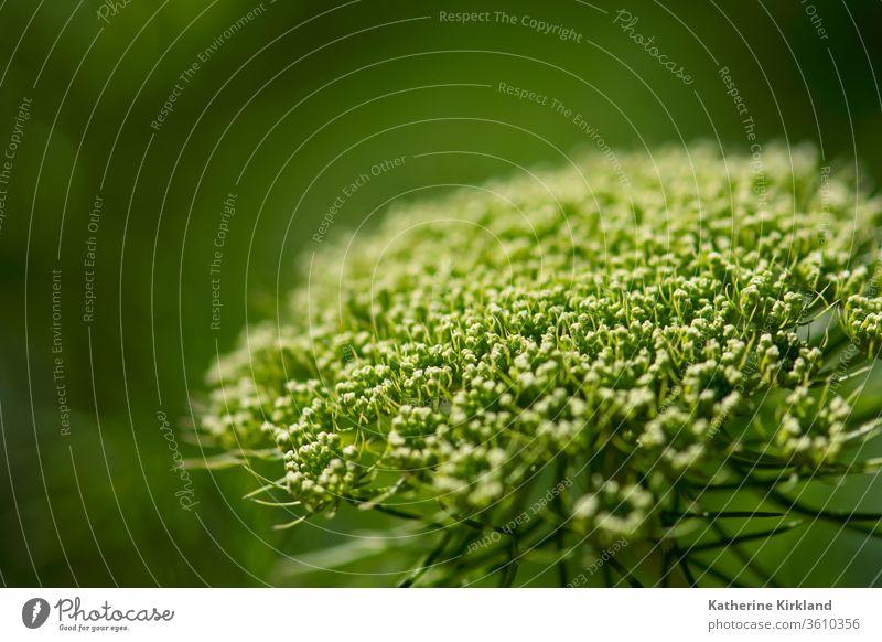 Spitze der grünen Königin Ann anns Ann... annes Anne... Blume geblümt Natur natürlich Blütenknospen Makro Detailaufnahme botanisch Botanik wild Wildblume Garten