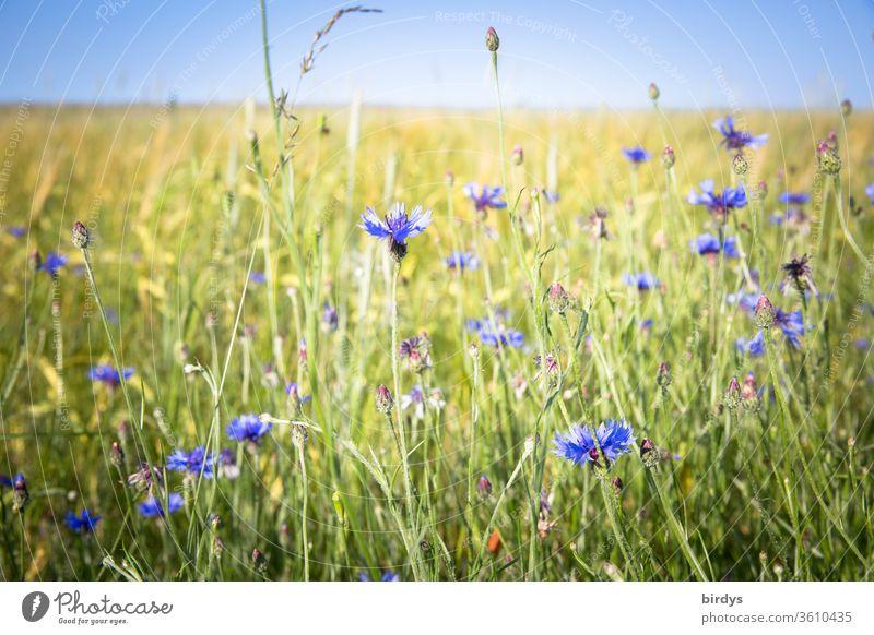 Blaue , blühende Kornblumen am Feldrand kornblumen Blüten Sommer Wolkenloser Himmel Schwache Tiefenschärfe Blühend Wärme Landschaft Schönes Wetter Menschenleer