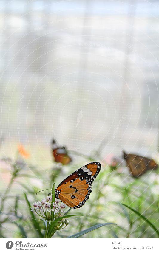 Viele, hübsche Schmetterlinge bei Futtersuche auf grünen Pflanzen und rosa Blüten. Gemusterte, gefangene Schmetterlinge in Gelb, Orange suchen Fressen. Zucht von exotischen Schmetterlingen, Faltern in tropischem, hellen Schmetterlingshaus mit viel Licht.