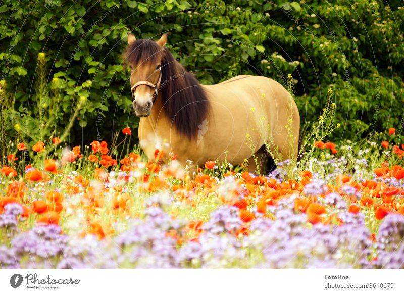 Mo(h)ntagspony - oder ein Schottisch Highland Pony steht auf einer bunten Blumenwiese und schaut mich neugierig an. Rasse Farbfoto wild Pferd Umwelt Natur