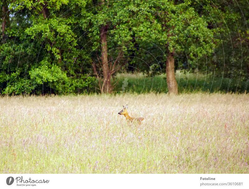 Bambi - oder ein Reh steht in hohem Gras und wittert Gefahr Wildtier Tier Außenaufnahme Farbfoto 1 Natur Menschenleer Tag Umwelt natürlich Wiese Landschaft