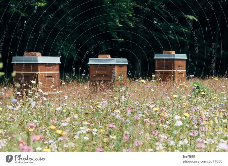 Bienenstöcke auf Blütenweide Imkerei imkern Honig Honigproduktion ökologischer landbau Honigbiene Lebensmittel Gesundheit Sommer Bienenkorb Bienenstock Natur