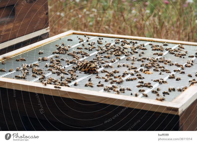 Blick auf einen geöffneten Bienenstock mit Abschlussgitter und Wabenwuchs Imkerei imkern Honig Honigproduktion ökologischer landbau Honigbiene Lebensmittel