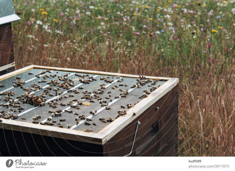 Blick auf einen geöffneten Bienenstock mit Abschlussgitter Imkerei imkern Honig Honigproduktion ökologischer landbau Honigbiene Lebensmittel Gesundheit Sommer