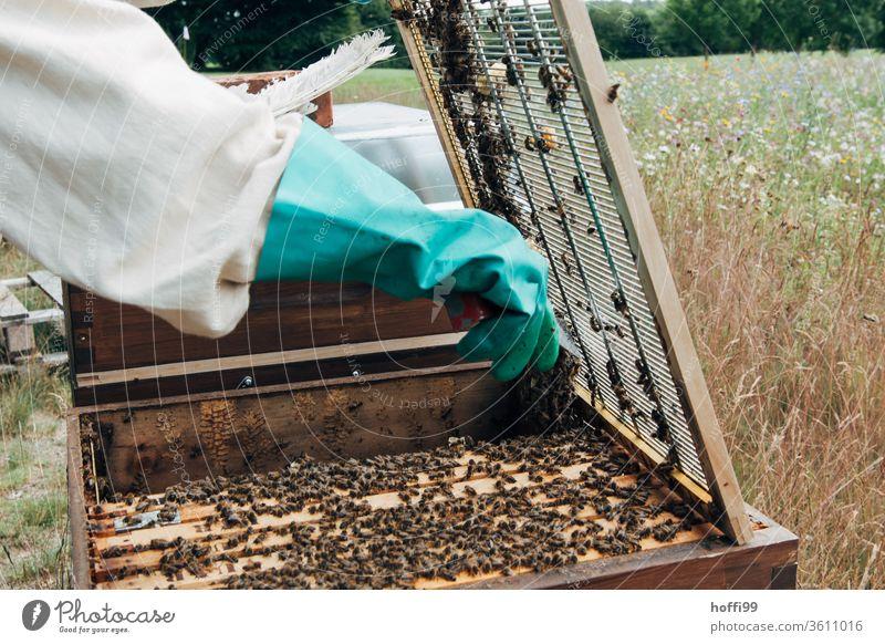 Imker öffnet das Abschlussgitter zum Honigraum Imkerei imkern Honigproduktion ökologischer landbau Honigbiene Lebensmittel Gesundheit Sommer Bienenkorb