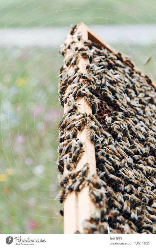 vollbesetzte Waben mit Bienen vor blühender Wiese Imkerei imkern Honig Honigproduktion ökologischer landbau Honigbiene Lebensmittel Gesundheit Sommer Bienenkorb