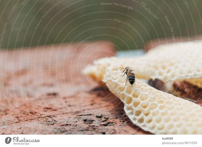frei gebildeter neue Wabe mit Biene Imkerei imkern Honig Honigproduktion ökologischer landbau Honigbiene Lebensmittel Gesundheit Sommer Bienenkorb Bienenstock