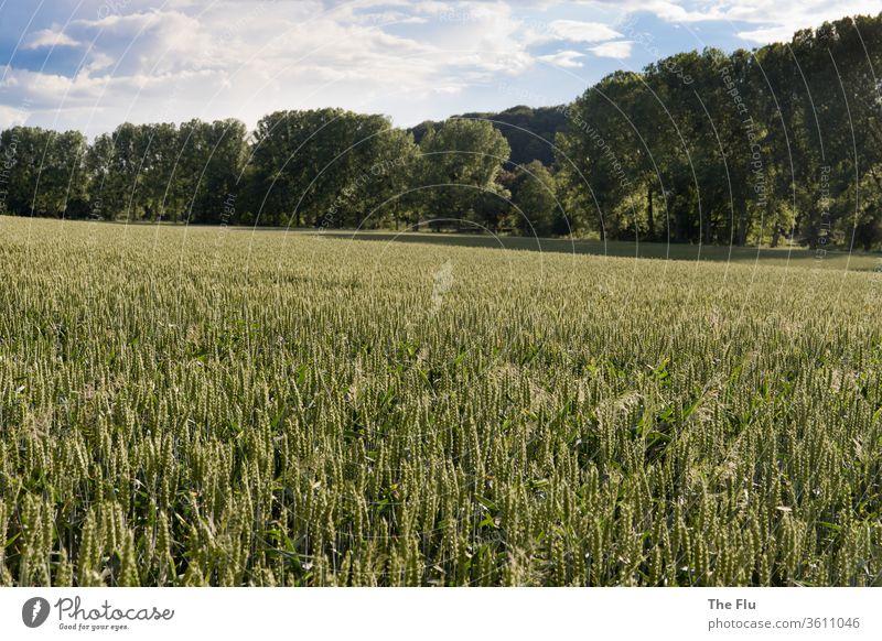 Roggenfeld Korn Weizen Sommer Himmel Getreide Feld Landwirtschaft blau Natur grün Ähren Ackerbau Lebensmittel Kornfeld Ernährung Pflanze Wachstum Getreidefeld