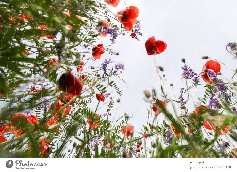 Ist heute nicht Mohntag? - Mohnblumen auf einer Blumenwiese aus der Froschperspektive Wiesenblumen Pflanze Blüten blühen Frühling Sommer schön Natur grün bunt