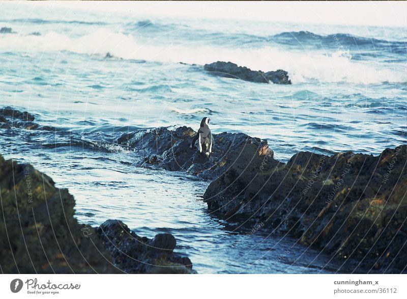 P1- penguin, lonely Pinguin Südafrika Indischer Ozean Küste Nature´s valley blau