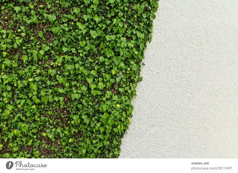 Wandgestaltung mit Efeu in Grün und Weiß Mauer Mauerpflanze Pflanze Hauswand schräg drittel Blätter Putz Außenaufnahme Tag Wachstum Grünpflanze Fassade
