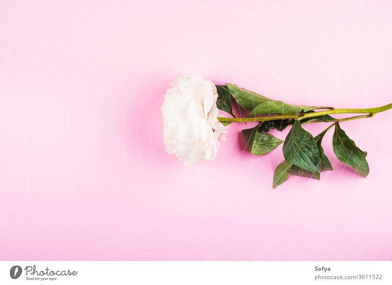 Weiße Pfingstrose auf rosa Hintergrund. Flach gelegt Blume Pastell Schönheit Hochzeit Frau flache Verlegung Design Muttertag sehr wenige Frauentag Grußkarte