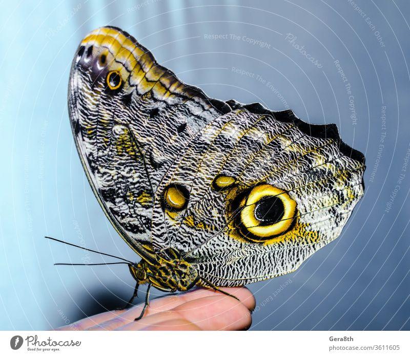 ein silbergelber großer Schmetterling sitzt mit gefalteten Flügeln auf einem Menschen Hintergrund Schönheit der Natur blau heller Schmetterling Entomologe
