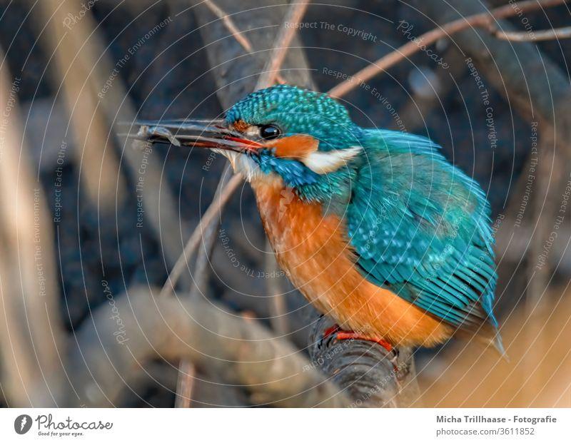 Eisvogel mit Fisch im Schnabel Alcedo atthis Vogel Tier Natur Auge Flügel Gefieder Federn Zweige u. Äste Wildtier gefangen jagen Beute Tierporträt fressen