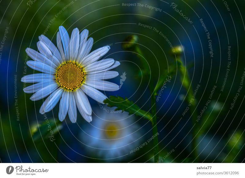 leuchtende Margeriten Natur simmer Blume Blüte Sommer Pflanze Garten Wiese Wiesenblume Farbfoto Blühend Duft Schwache Tiefenschärfe Nahaufnahme Vogelperspektive