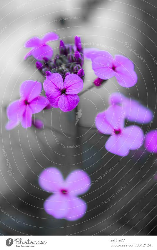 lila Blüten Blume Pflanze fliederfarben Blühend Garten Sommer Makroaufnahme violett Kontrast Duft Menschenleer Schwache Tiefenschärfe Natur Nahaufnahme
