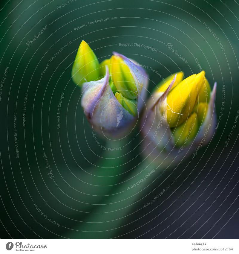 gelbe Blütenknospen im Frühling Allium moly Frühjahrsblüher Blume Garten Pflanze Natur zwei Makroaufnahme Blühend Schwache Tiefenschärfe Farbfoto schön