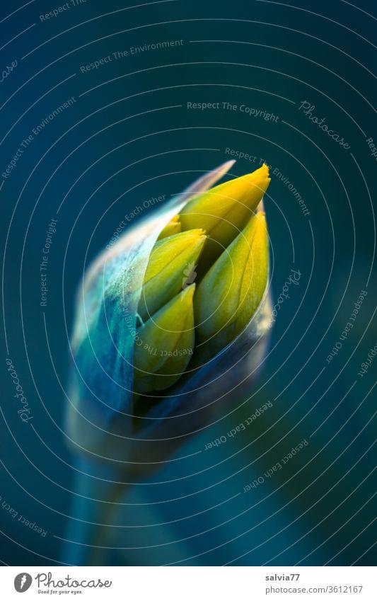 gelbe Blütenknospe des Goldlauchs (Allium moly) Frühling Knospe Frühblüher Natur Blume Pflanze Garten Nahaufnahme Makroaufnahme Schwache Tiefenschärfe grün