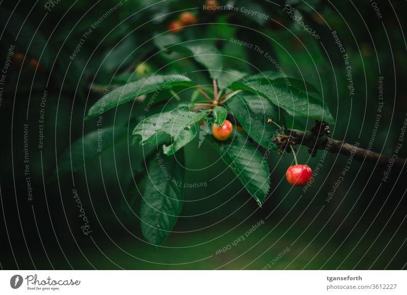 Kirschen am Baum Kirschbaum Sommer Garten Frucht Ernte lecker reif frisch Lebensmittel rot Jahreszeiten grün pflücken Außenaufnahme Natur Obstbaum Farbfoto