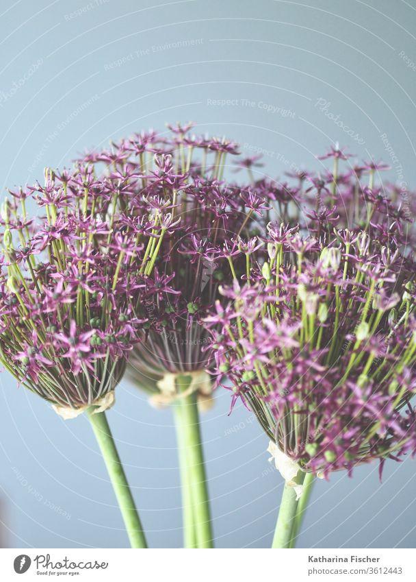 Zierzwiebel-Allium Blume Natur Farbfoto Nahaufnahme Garten purpur Lauch geblümt alliums Allium rosenbachianum Tag violett schön natürlich organisch Jahreszeiten