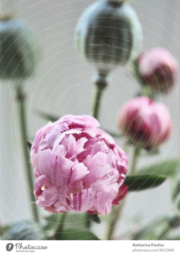 Pfingstrose und Schlafmohn Blume Blüte rosa Farbfoto Sommer schön Mohn Mohnblüte Frühling rot Dekoration & Verzierung Natur Blumenstrauß Innenaufnahme