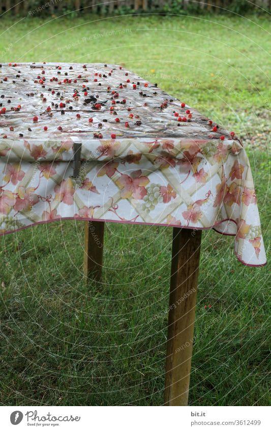 alt l alte, dreckige, verschmierte, Wachstischdecke mit Blumenmuster, liegt vergessen auf Gartentisch. Viele, rote Beeren, liegen auf schiefen, schrägen, holzigem Gartentisch, im herbstlichen Schrebergarten. Verwahrloster Tisch auf grünem, frischem Gras.