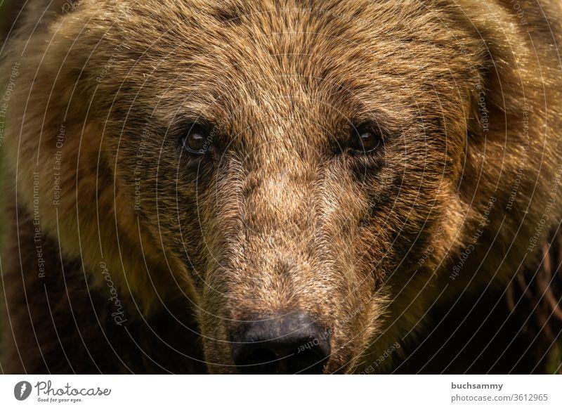 Bärenblick Bärenfell Fell braun Schnauze Blick in die Kamera Blickkontakt Wildtier natur raubtier