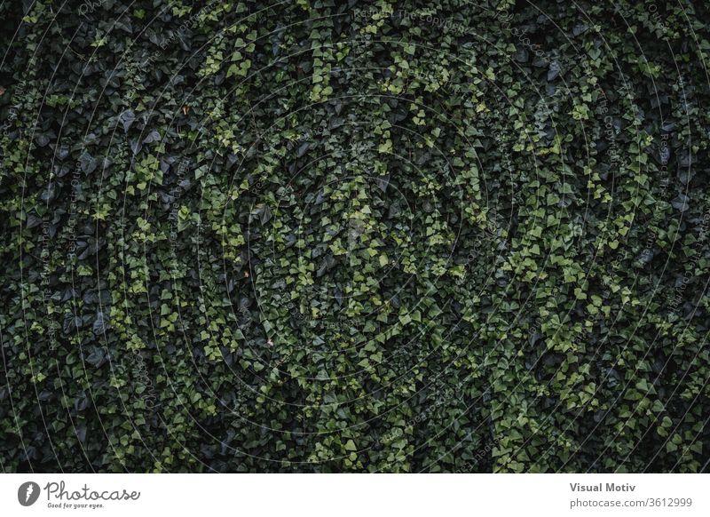 Immergrüne Blätter und neue Sprösslinge von Kletter-Efeu Algerischer Efeu Hedera-Algeriensis herzförmige Blätter Immergrünes Klettern Farbe Natur natürlich