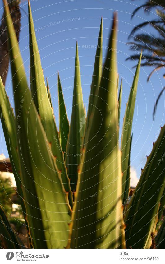 Aloe Blume Pflanze