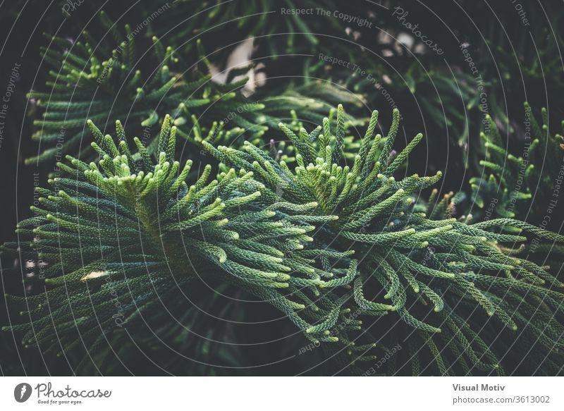 Blätter von Araucaria Heterophylla, allgemein bekannt als Norfolk-Island-Kiefer Blatt Baum Norfork nadelhaltig Araukarien-Heterophyllie Immergrün Ast