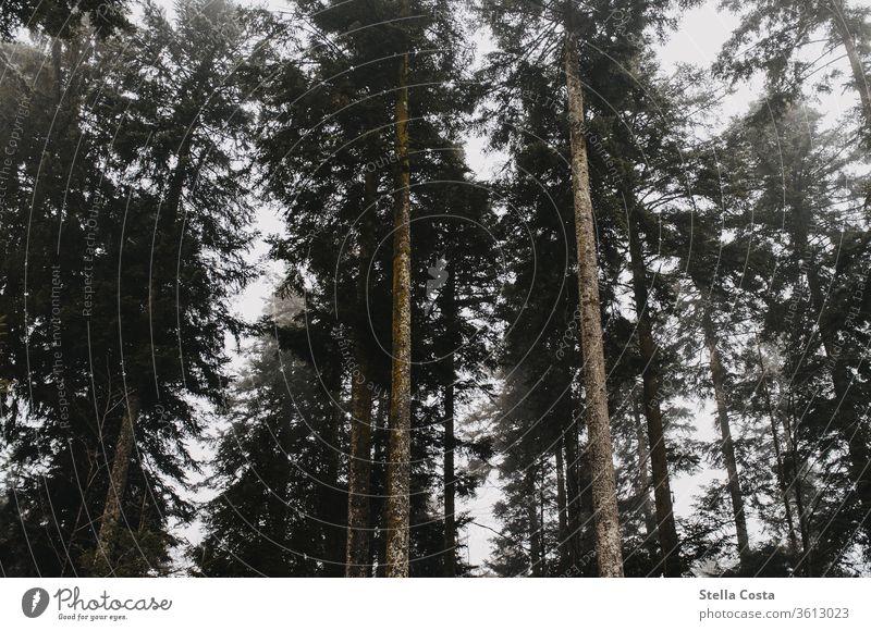 Nebel zwischen den Tannen Nebelschleier Nebelstimmung Tannenwald Wald Außenaufnahme Menschenleer Natur Baum Landschaft Farbfoto Nebelwald Gedeckte Farben dunkel