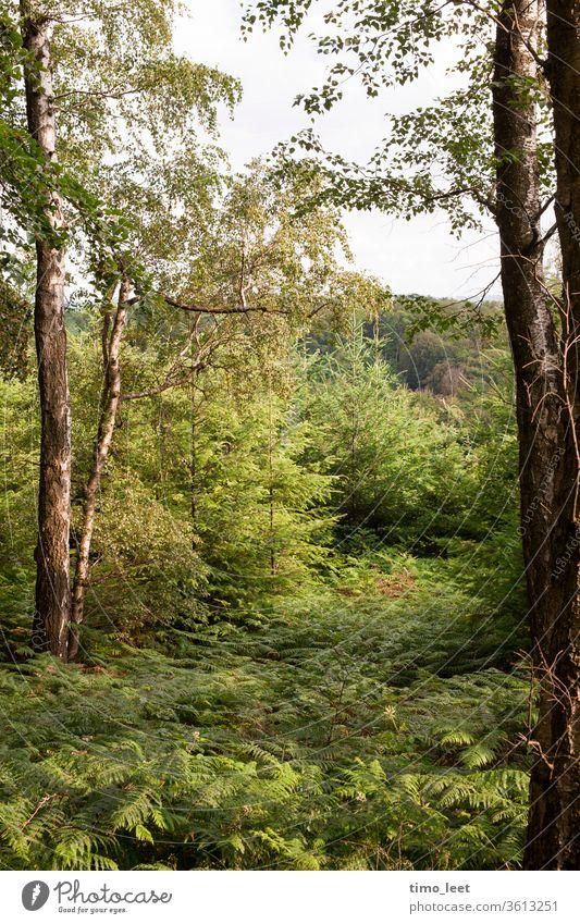 Grüne Idylle über dem Ruhrgebiet. Wald Pflanzen Farn Farnblatt Baum Bäume Birken Sonne Lichtspiel Sonnenuntergang Abenddämmerung Natur grün Ruhe Frühling Sommer