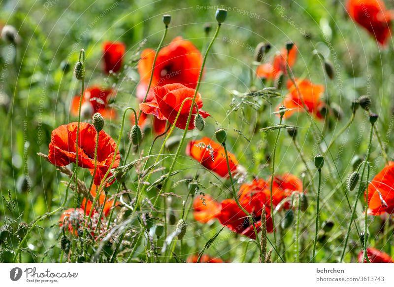 bonjour mo(h)n chéri Wiese schön Nutzpflanze Licht Landschaft Wildpflanze Blütenblatt Menschenleer Umwelt Wärme Garten Blütenstaub Sonnenlicht Mohn mohnblumen